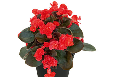 Begonia Coco Red