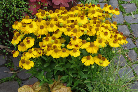 Helenium HELIAS 'Orange'