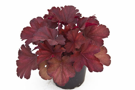 Heuchera 'Royal Ruby'