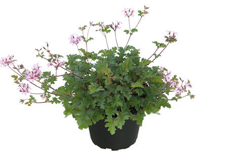 Pelargonium 'Pinki Pinks'