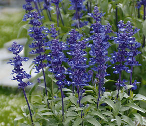 Salvia farinacea Midnight Candle