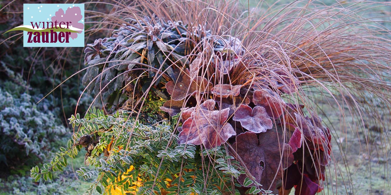 Winterzauber Neuheiten Von Kientzler Jungpflanzen