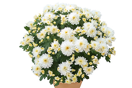 Chrysanthemum Yahou Friends Kessy