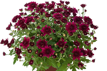 Chrysanthemum Yahou Friends Korus Violet