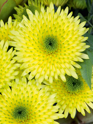 Schnitt-Chrysanthemum 'Cocoon Yellow'